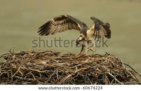 active osprey - stock photo