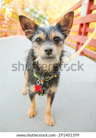acute terrier standing on a bridge with a leash - stock photo