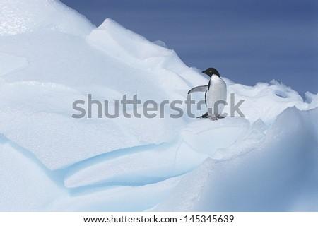 Ad_lie Penguin (Pygoscelis adeliae) on glacier - stock photo