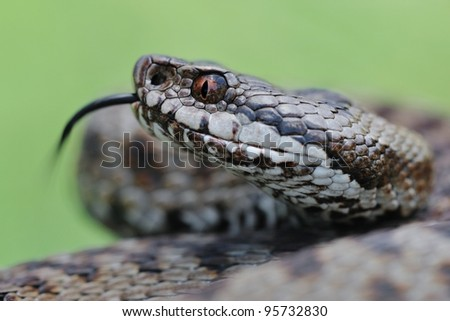 Adder portrait (Vipera berus). Wild fermale european adder and its forked tongue. Portrait. Lombardy Alps, Italy. - stock photo