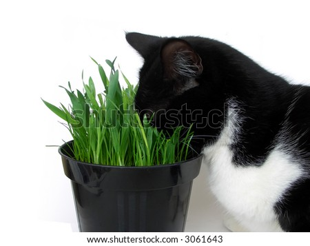 Addicted cat plunging its head in a vase of fresh catnip, isolated on white