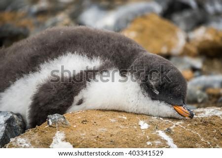 Adelie penguin asleep on rock with guano - stock photo