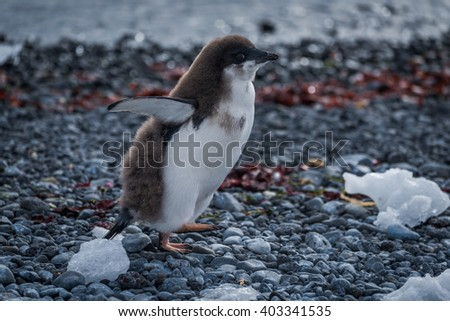 Adelie penguin chick running along stony beach - stock photo