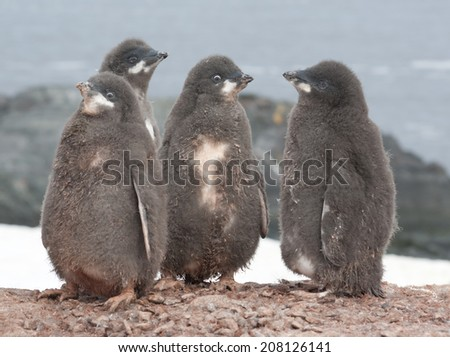 Adelie penguin chicks. - stock photo