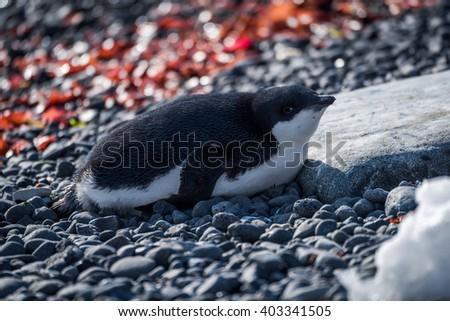 Adelie penguin in sunshine lying on shingle - stock photo