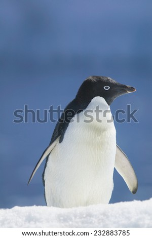Adelie Penguin on an Iceberg