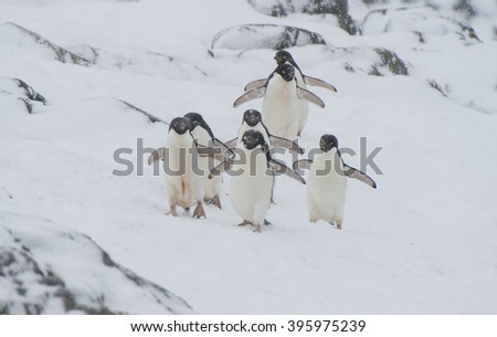 Adelie Penguin on snow - stock photo