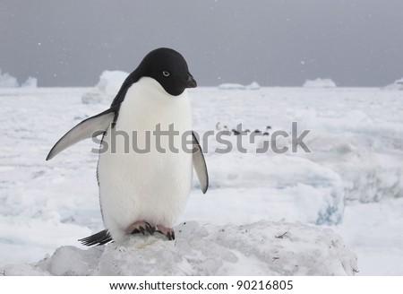 adelie penguin on the ice (Pygoscelis adeliae) - stock photo