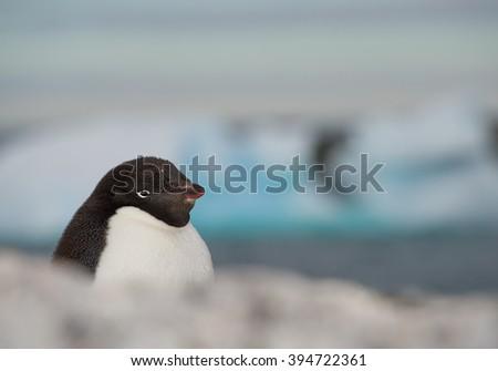 Adelie penguin portrait, with clean background, Antarctic Peninsula - stock photo
