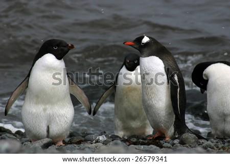 Adelie penguin (Pygoscelis adeliae) meets Gentoo penguin (Pygoscelis papua) on Antarctica - stock photo