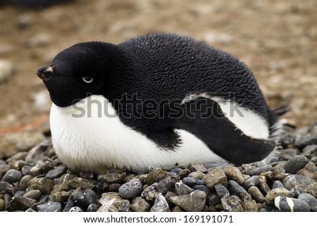 Adelie Penguin, Pygoscelis adeliae, on nest at colony, Antarctica. - stock photo