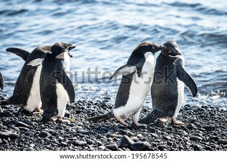 Adelie penguin (Pygoscelis adeliae) on the Antarctic coast - stock photo
