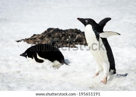 Adelie penguin (Pygoscelis adeliae) walks on the snow - stock photo