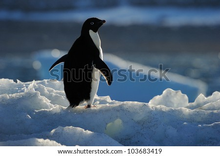 Adelie Penguin standing on ice with back light. - stock photo