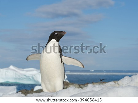 Adelie penguin standing on snowy hill, open wings, with blue sea and iceberg in background, Antarctic Peninsula - stock photo