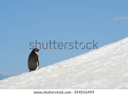 Adelie penguin walking up to snowy hill, with blue sky in background, Antarctic Peninsula - stock photo