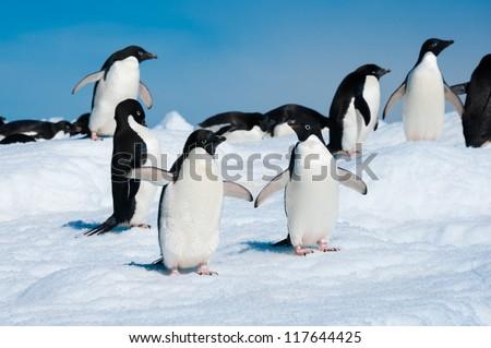 Adelie penguins colony on iceberg, Antarctica - stock photo