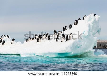 Adelie penguins colony on the iceberg Antarctica - stock photo