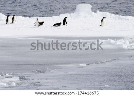 Adelie penguins on pack ice. - stock photo