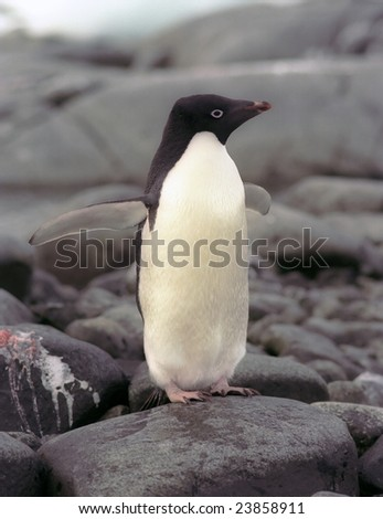 Adelie penguins ( Pygoscelis adeliae ) are the smallest of the penguins living on the Antarctica continent. - stock photo