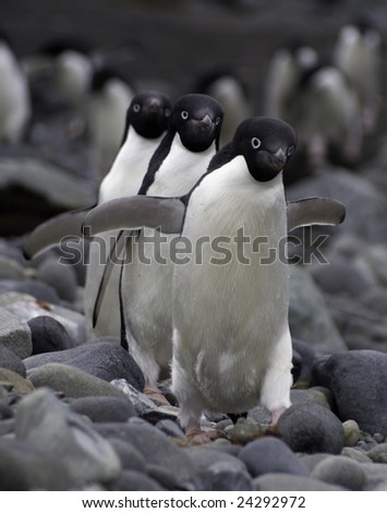 Adelie penguins (Pygoscelis adeliae). Frontal view walking in a synchronized way towards the camera. - stock photo