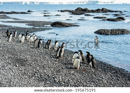 Adelie penguins (Pygoscelis adeliae) on the coast of the ocean in Antarctica - stock photo