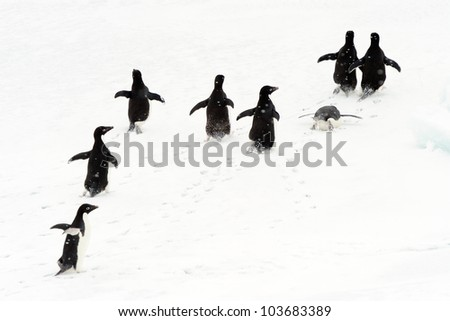 Adelie Penguins running on ice. - stock photo
