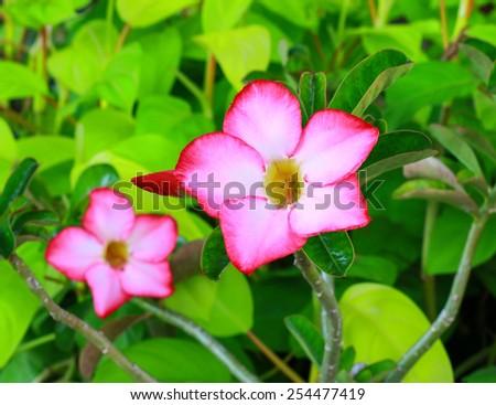 Adenium flower blooming seasonal flowers, a beautiful red color. - stock photo
