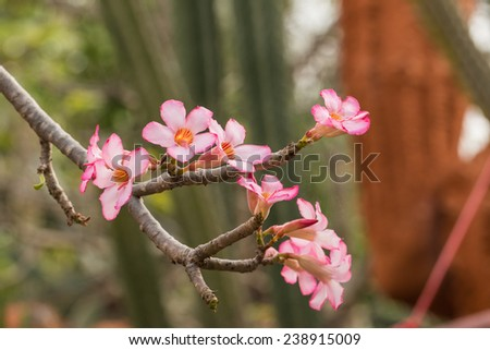 Adenium obesum, The flowers tend to red and pink, often with a whitish blush outward of the throat.  - stock photo