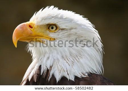 Adler - stock photo