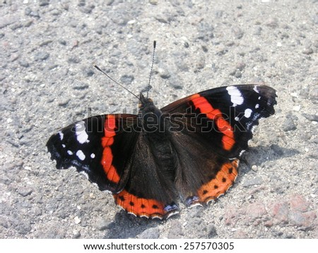 Admiral butterfly - stock photo
