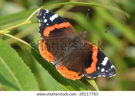 admiral butterfly sitting on green leaves