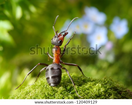 admired with forget-me-not flowers, ant tales - stock photo