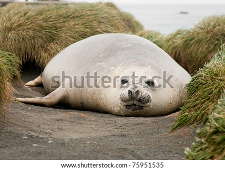 Adolescent Elephant seal in grasses; Macquarie Island. - stock photo
