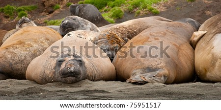 Adolescent Elephant seals lazing on the beach. Macquarie Island. - stock photo