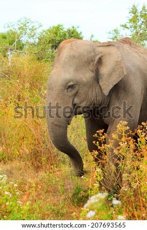 Adolescent elephant walking in the bush - stock photo