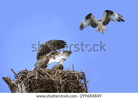 Adolescent Osprey Testing Their Wings as Parent Brings in Lunch - stock photo