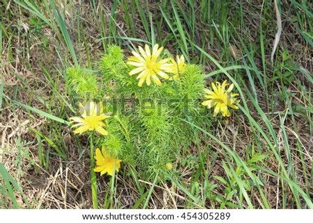 Adonis flowers bloom in the forest - stock photo