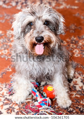 Adorable active mini schnauzer isolated over colorful red carpet - stock photo