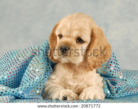 adorable american cocker spaniel puppy under blue blanket - eight weeks old
