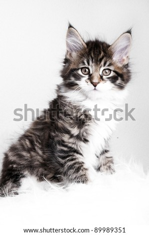 adorable and beautiful Maine Coon kitten - stock photo