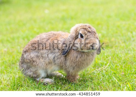 Adorable and cute fluffy Holland Lops rabbit