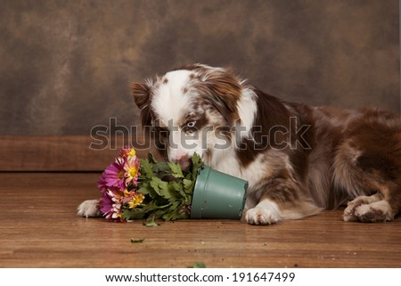 Adorable Australian Shepherd chewing potted flowers. - stock photo