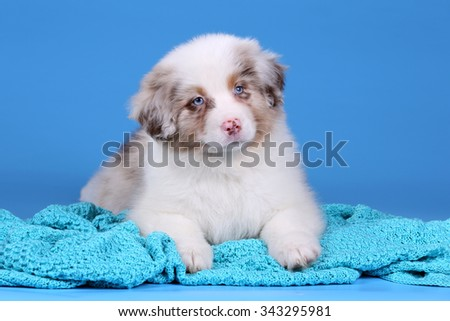 Adorable Australian Shepherd puppy on a blue background
