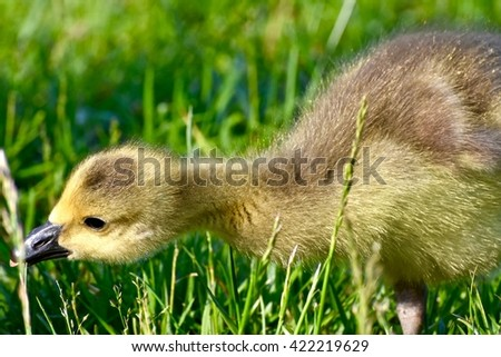 Adorable baby Canadian goose