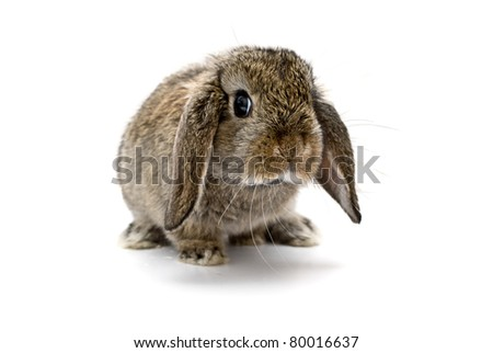 Adorable baby lop eared rabbit. - stock photo