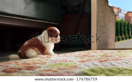 adorable baby shih tzu puppy dog sitting in front of home door and looking to out side  - stock photo