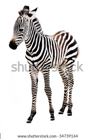 Adorable baby Zebra standing, on white background.