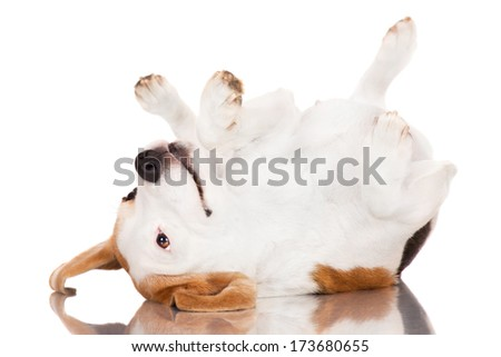 adorable beagle dog rolling upside down - stock photo