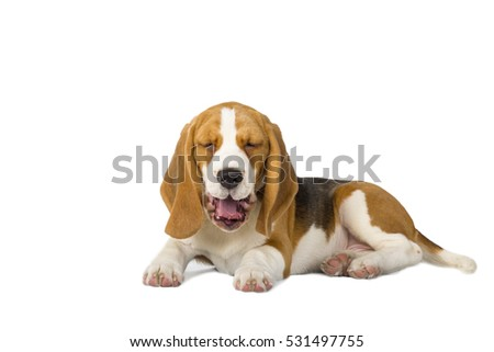 Adorable Beagle on a white background in Studio